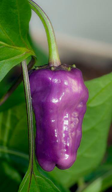 C. annuum 'Black Scorpion Tongue'