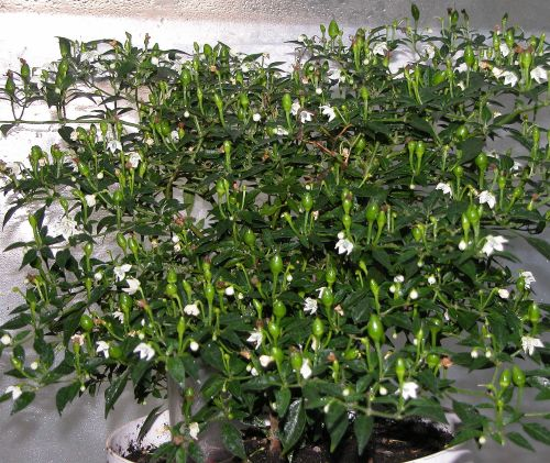 C. annuum var. 'Bird's Eye Baby'