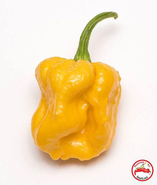 C. chinense 'Carolina Reaper' x 'Moruga Scorpion Yellow'