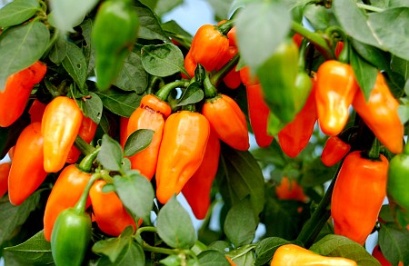 C. annuum x chinense var. 'Dutch-Habanero F3'