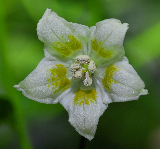 Baccatum flower