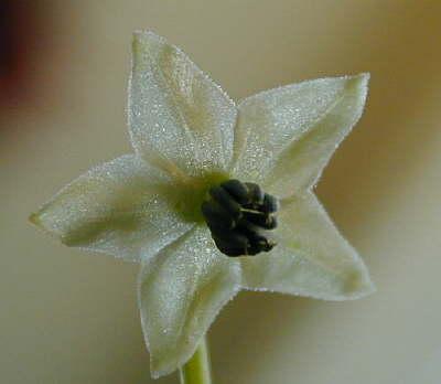 Tepin flower