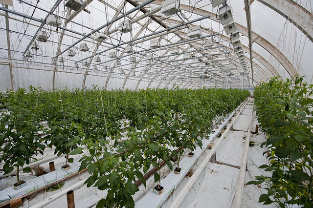 Aji Cristal greenhouse