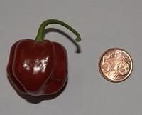 C. chinense var. 'Habanero, Red Ball'