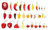 Different kinds of chile peppers